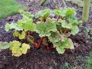 Annies Rhubarb